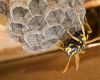 Deutsche Wespe am Nestbau