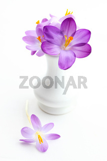 Violet crosus in vase for spring  on white background