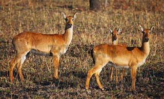 Pukus im Kafue Nationalpark, Sambia; Kobus vardonii; pukus, Kafue National Park, Zambia