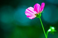 Pink cosmos flower on blue-turquoise-green blurry smooth bokeh background