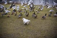 Jagender Hund