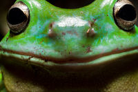 Smiley tree frog