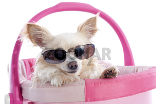 chihuahua and sunglasses