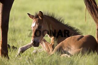 Colt newborn in field
