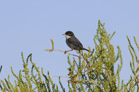 Samtkopf Grasmcke, Sylvia melanocephala,Sardinian warbler