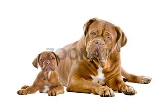 Dogue de Bordeaux adult and puppy