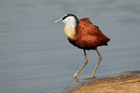 African Jacana