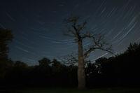alte Eiche vor Sternenhimmel bei Ivenack