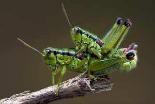 grasshoper have sex in a tree