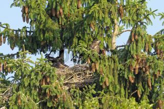 Seeadler, Haliaeetus albicilla, White tailed eagle