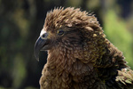 Kea (Nestor notabilis) in New Zealand