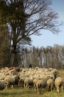 Schafe am Waldrand