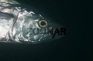 Hundezahn Thunfisch, Dogtooth Tuna, Gymnosarda unicolor