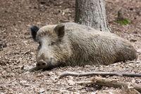 Wildschwein (Sus scrofa),