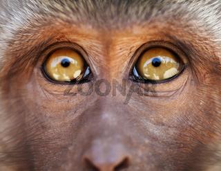 Monkey yellow eyes close up - Macaca fascicularis