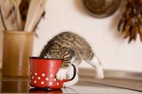 Katze / Kaetzchen leckt Milch aus Milchtopf