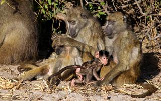 Steppenpaviane, Gelbe Paviane, Chobe, Botswana; papio cynocephalus; savanna baboons, Chobe, Botsuana