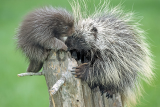 Porcupine with a baby (Erithizon dorsatum)