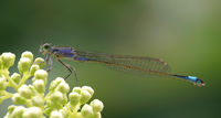 Ischnura elegans Große Pechlibelle Schlanklibellen