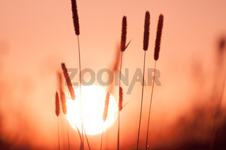 Dreamy summer grass background at sunset