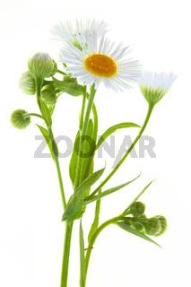 Erigeron annuus, Einjähriges Berufskraut, Annual Fleabane