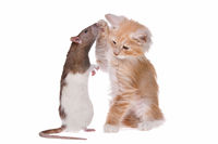 Rat and kitten