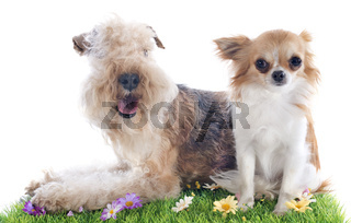 lakeland terrier and chihuahua