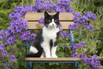 Hauskatze auf Gartenstuhl vor Storchschnabellblten, cat on a chair with violet garden flowers