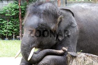 ruhender Elefant