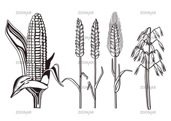 Getreidesorten bilder