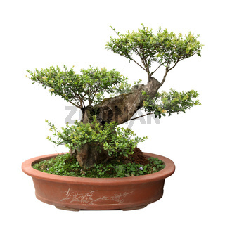 green bonsai tree of elm