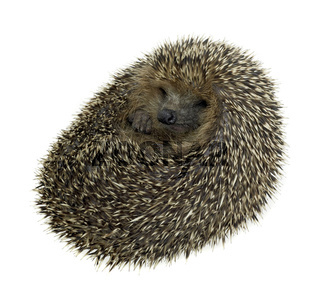 rolled-up hedgehog in white back