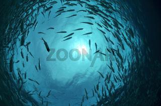 Fischschwarm