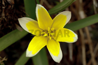 Tarda-Tulpe - Tulipa tarda