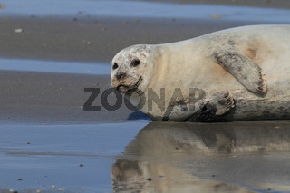 Seehund Helgoland
