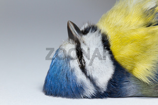 A deceased blue tit