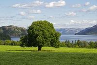 Einzelner Baum auf Feld vor Fjord