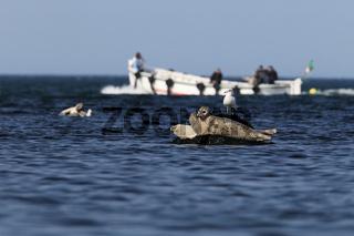 Seehunde mit Boot Helgoland