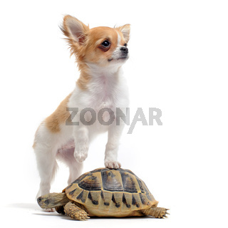 puppy chihuahua and turtle