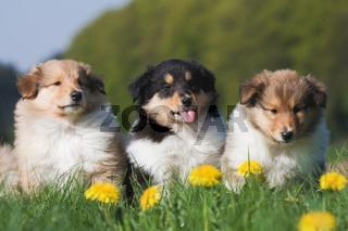 drei Collie-Welpen in einer lustigen Szene