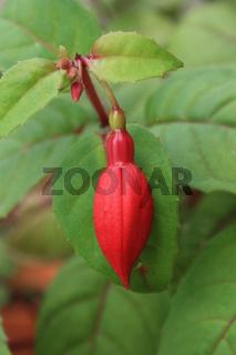 Fuchsie, rote Blütenknospe