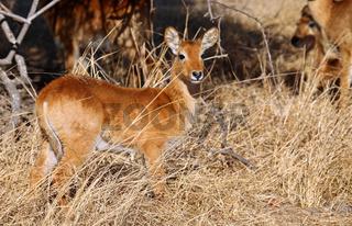 Junger Puku im Kafue Nationalpark, Sambia; Kobus vardonii; puku, Kafue National Park, Zambia