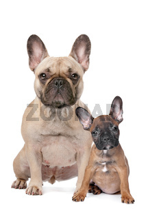 French Bulldog adult and puppy
