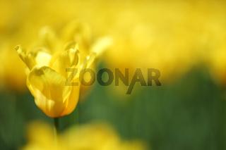 yellow tulips close up