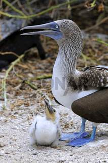 Blaufusstoelpel (Sula nebouxii), mit Jungem, Kueken im Nest,  In
