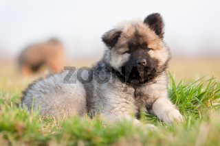 Eurasier Welpe liegt im Gras