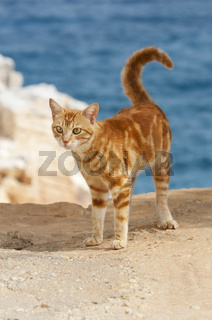 Hauskatze auf Klippe / Cat, red classic tabby, on a cliff, Cyclades