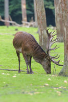 Rothirsch, Cervus elaphus, European Male Red Deer