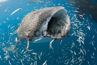 Fressender Walhai