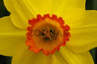 gelbe Narzisse - Narcissus
